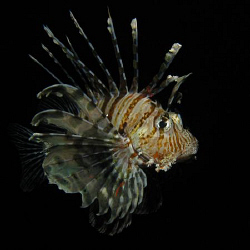 Lionfish taken on a night dive. Canon G9 and Ikelite DS51... by James Dawson